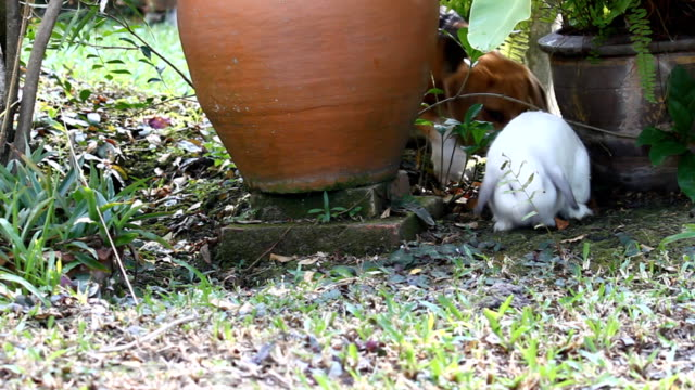 Beagle playing with white holland lop rabbit video