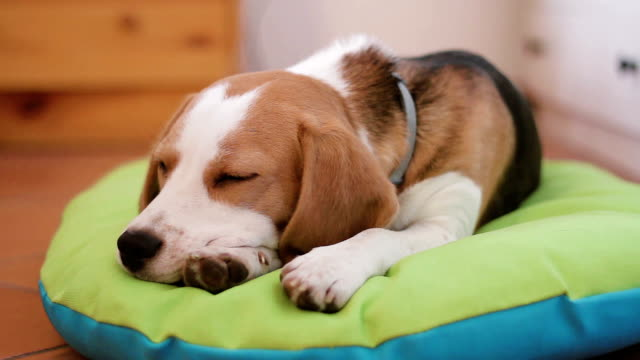 Beagle puppy dog falling asleep on his bed video