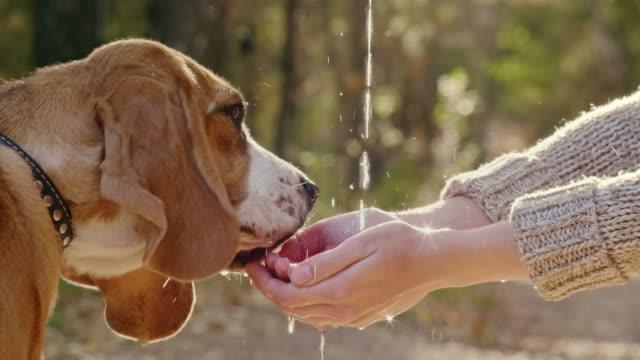 vidéos et rushes de beagle chiot l'eau potable de palmiers femelles au cours de la promenade dans le parc - animal eau