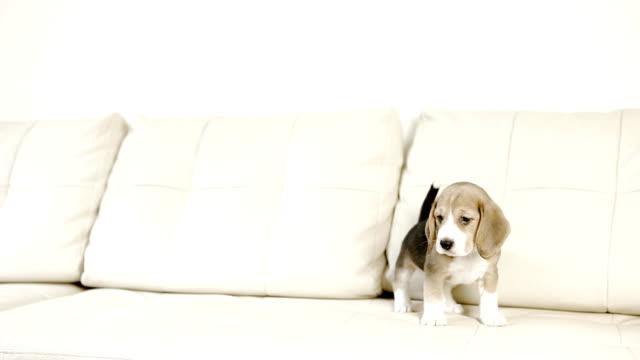 beagle puppy playful on white sofa video