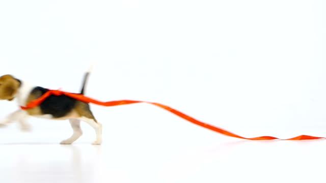 beagle chiot avec un ruban rouge. TM - Vidéo
