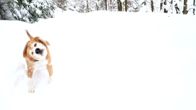Beagle shaking off snow standing amidst banks of snow slow-motion footage. Beagle shaking off snow standing amidst banks of snow slow-motion footage. Slow motion footage of beagle shaking off snow in winter forest. Adult canine beagle shaking his body getting rid of snow. Winter concept footage. shivering stock videos & royalty-free footage
