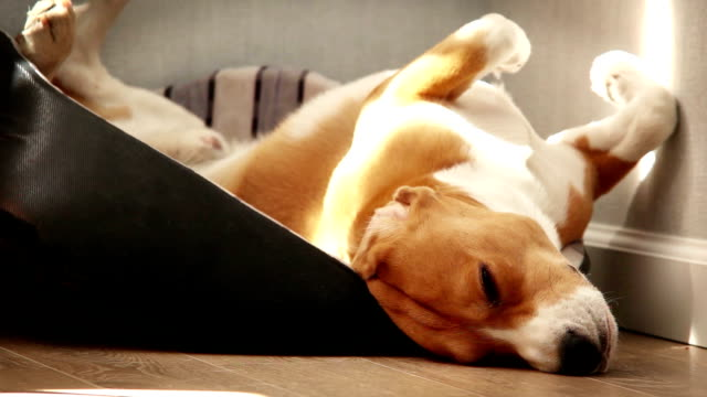 Beagle sleeps in a funny pose lying on its back video