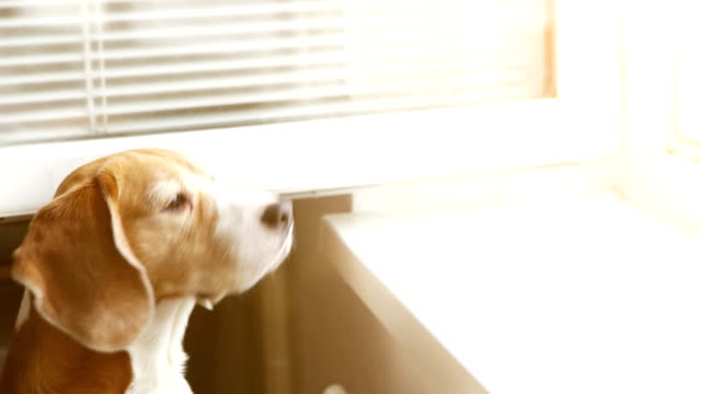 Beagle stretches out to the open window smelling something delicious video