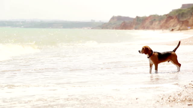 Beagle tries to enter the sea but gets scared by waves and runs