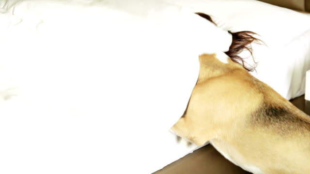 Beagle wakes up woman to walk it video