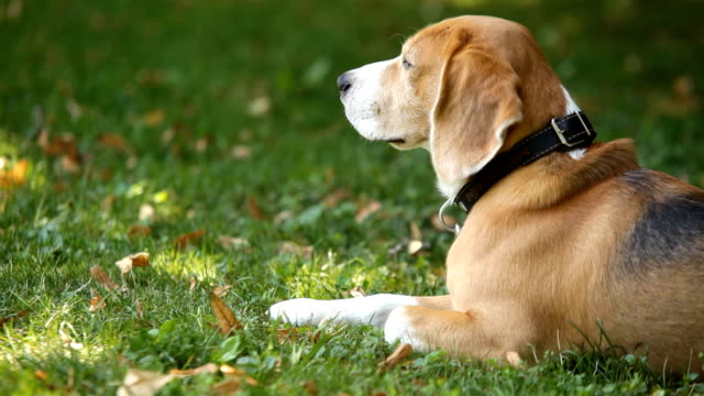Beagle wearing collar lying on grass in park turning his head