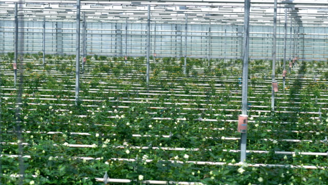 Beams, watering lines and flower rows going up to the greenhouse wall. 4K. video