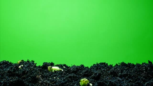 böna gro tid förflutit zooma ut skott - böngrodd bildbanksvideor och videomaterial från bakom kulisserna