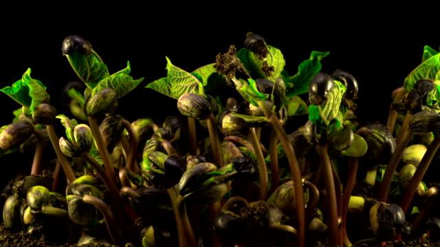 bönor grobarhet på svart bakgrund - böngrodd bildbanksvideor och videomaterial från bakom kulisserna