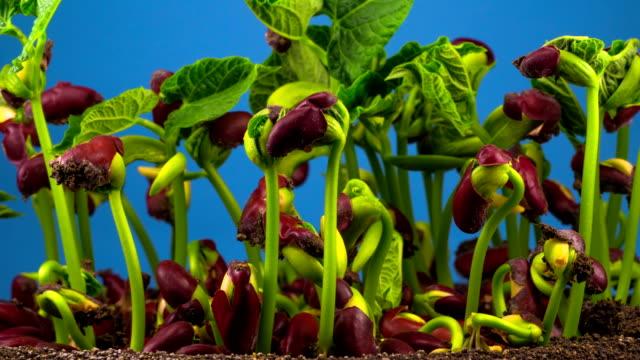 bönor grobarhet på blå bakgrund - pea sprouts bildbanksvideor och videomaterial från bakom kulisserna
