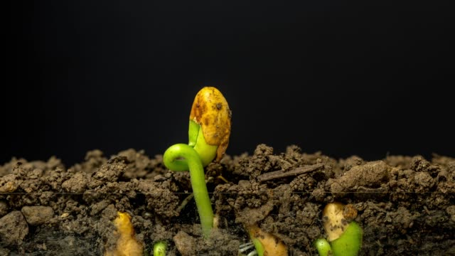 Beans grows from the earth, time lapse video 4K resolution clip. One axis linear camera motion.