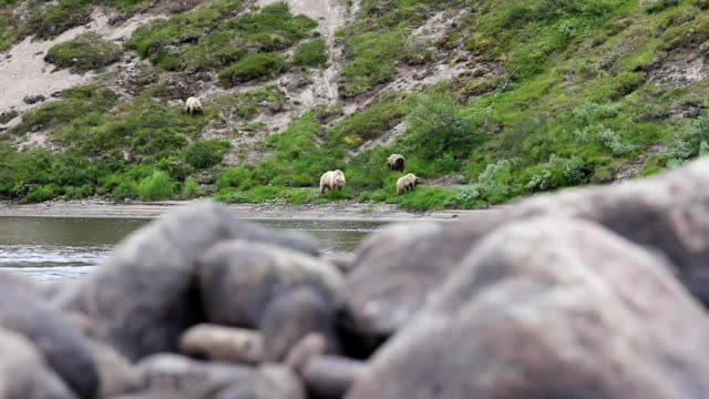 bear and cubs on the river video