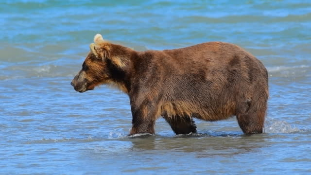 Bear and Salmon Bear and Salmon bear stock videos & royalty-free footage