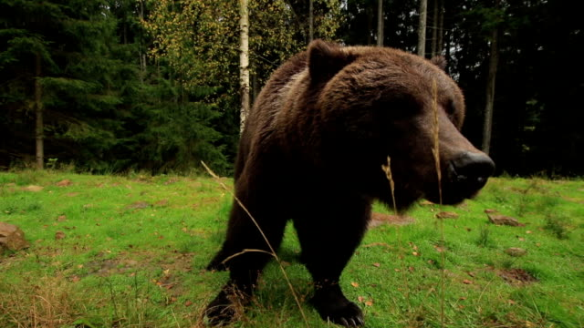 bear breathes loudly - bear stock videos and b-roll footage