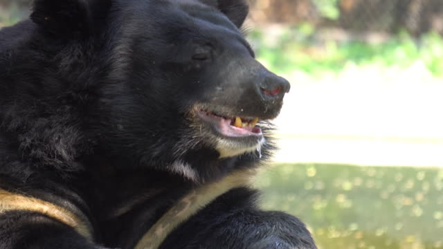 bear close up. - bear stock videos and b-roll footage