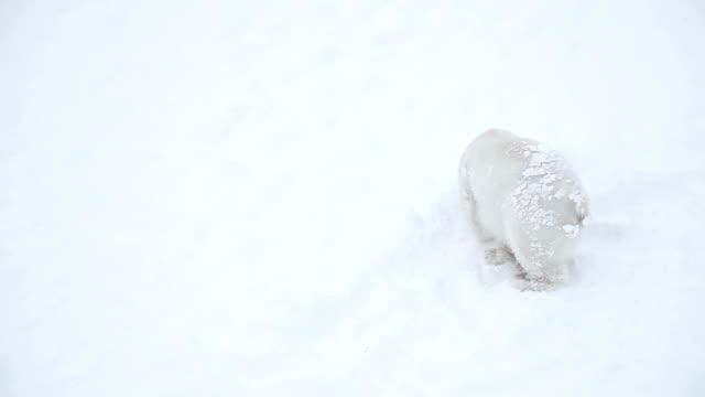 Bear cub in snow video