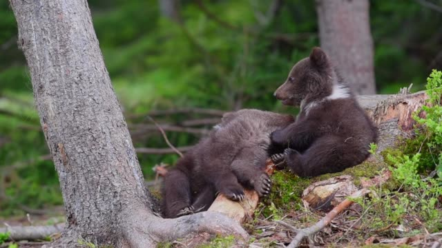 bear cubs in forest - bear stock videos and b-roll footage