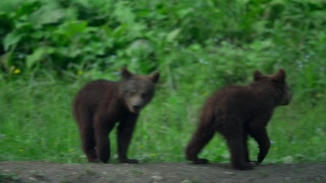 Bear cubs play in the forest near its den. Brown bear, or ordinary bear (Lat. Ursus arctos) is a predatory mammal of the bear family; one of the largest land predators.