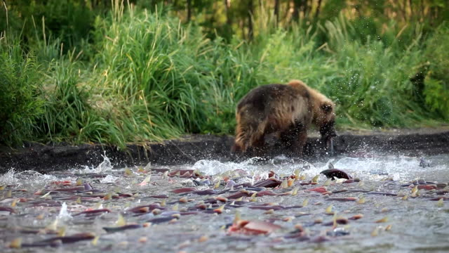 bear eats salmon - медведь и лосось - bear stock videos and b-roll footage