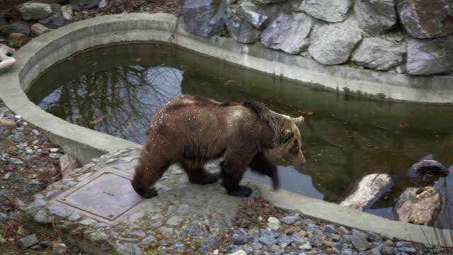 Bear goes around pond video