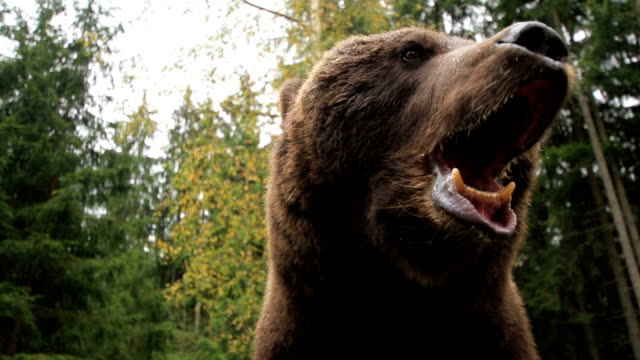 bear growls - bear stock videos and b-roll footage