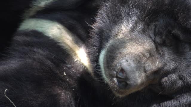 Bear is sleeping under a shady tree. Bear is sleeping under a shady tree. bear stock videos & royalty-free footage