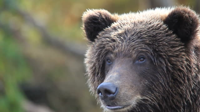 bear portrait video