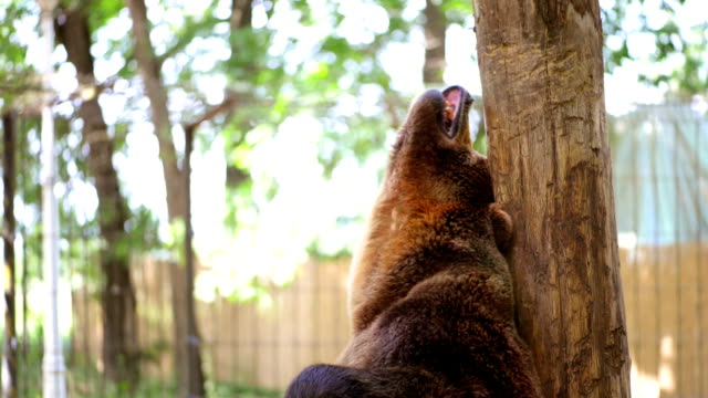 bear scratching at zoo - bear stock videos and b-roll footage