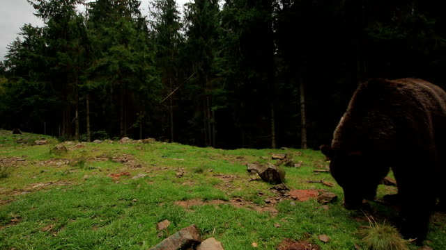 Bear Walks In The Forest video
