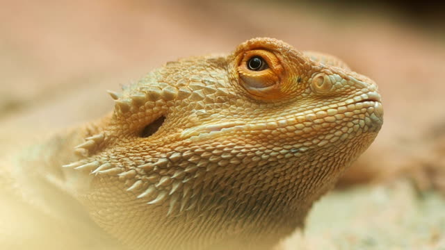Bearded Dragon, Close up. video