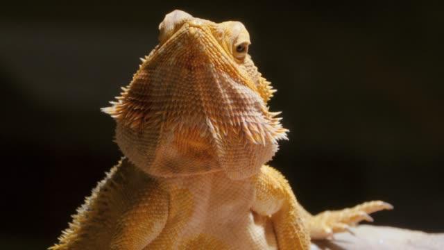 Bearded dragon lizard head video