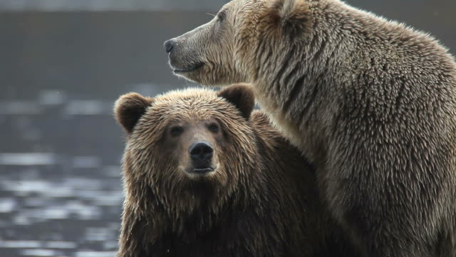 bears. a family portrait. - bear stock videos and b-roll footage