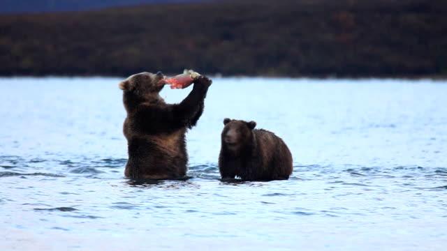 vídeos de stock, filmes e b-roll de ursos comer salmão - urso
