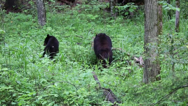 Bears eating Wild black bear in Great Smoky Mountains National Park, Tennessee animal family stock videos & royalty-free footage