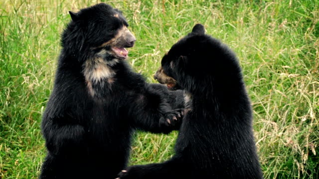 bears fighting in wild grassland - conflittualità video stock e b–roll