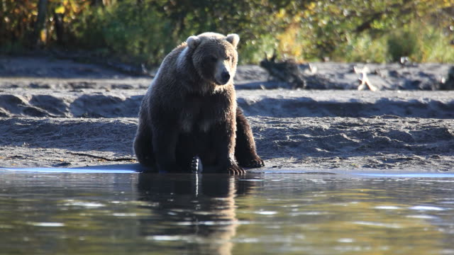 bears fishing video