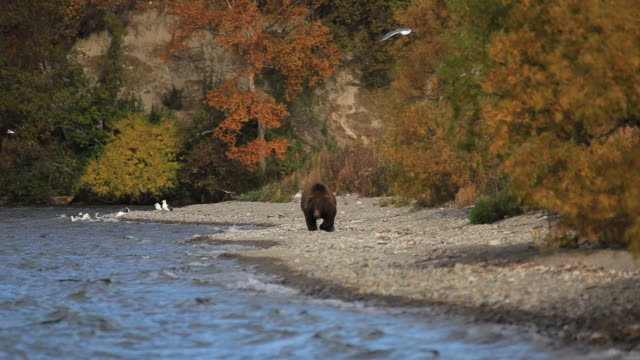 bears fishing - bear stock videos and b-roll footage