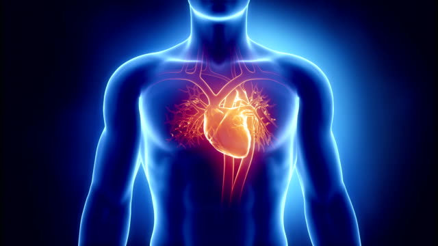 Beating human heart Beating human heart in 3D blood vessel stock videos & royalty-free footage