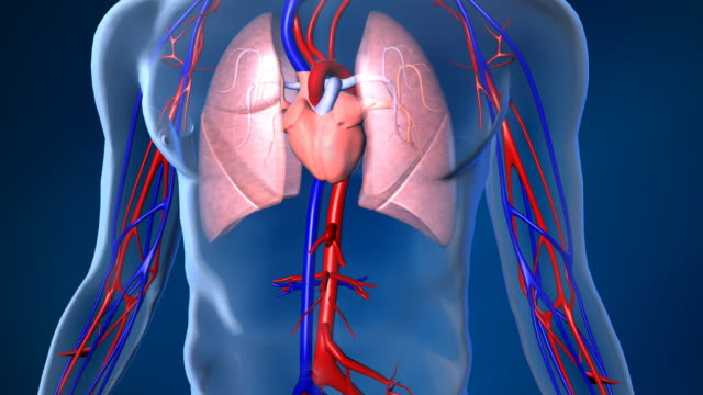 Beating Human Heart with Blood Flow Human Heart 3d anatomy animation showing blood flow with left ventricle, right ventricle, left atrium, right atrium, lungs, arteries and veins. Zoom in from human body. For use in medical and health applications. blood vessel stock videos & royalty-free footage