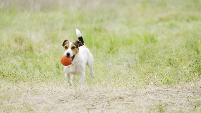 Beautiful active dog of Jack Russell Terrier breed runs on camera Slow motion of beautiful active dog of Jack Russell Terrier breed runs on camera through the meadow with a toy in his teeth jack russell terrier stock videos & royalty-free footage