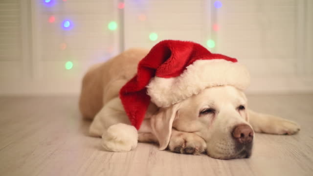 bellissimo adulto labrador in un cappello di babbo natale - cappello video stock e b–roll