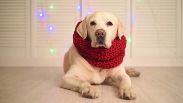 beautiful adult labrador in a red scarf video
