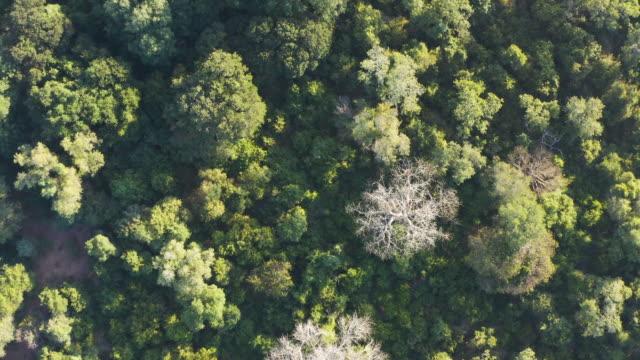 schöne luftfliegen über blick auf große baobab-bäume in einem tropischen regenwald baldachin, zentralafrika - affenbrotbaum stock-videos und b-roll-filmmaterial