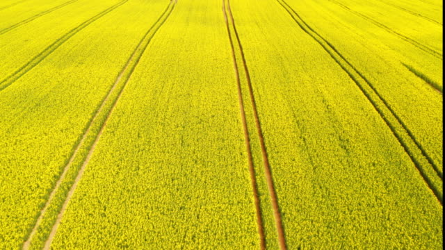beautiful aerial shot of golden canola fields - colza video stock e b–roll