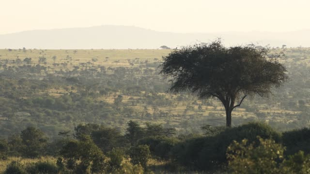 Beautiful African savannah and bush scenery in Kenya in sunrise Beautiful African savannah and bush scenery in Kenya in sunrise bush stock videos & royalty-free footage