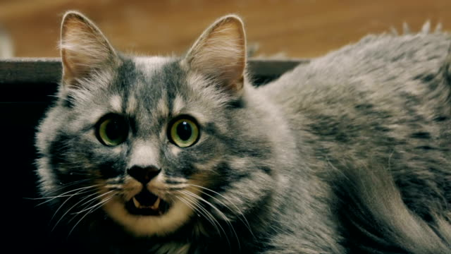 A beautiful aggressive gray cat hisses into the camera, instills fear, the instinct of self-preservation. Slow motion