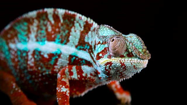 Beautiful and colorful Panther Chameleon, close-up and zoom out, with its reflection visible on a black acrylic surface that it is standing on while moving its eyes Animal footage of a blue, red and green Panther Chameleon on a mirror that shows its reflection with a black background while it looks all over the place and the camera zooms out. reptile stock videos & royalty-free footage