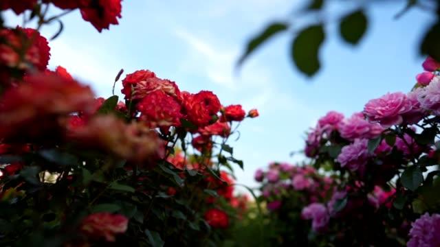 stockvideo's en b-roll-footage met mooi en kleurrijk rozen veld - floral line