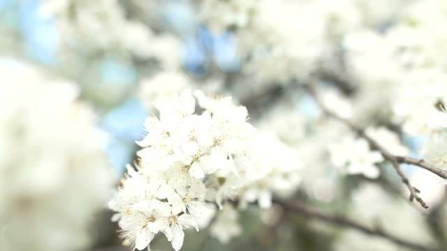 Beautiful apple tree branch video